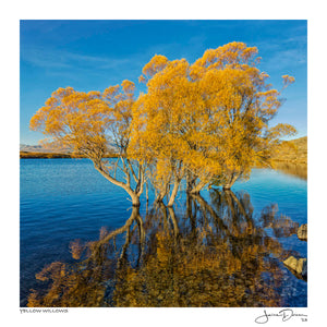 Yellow Willows