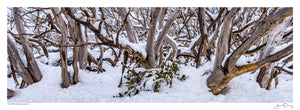 Twisted Snow Gums II