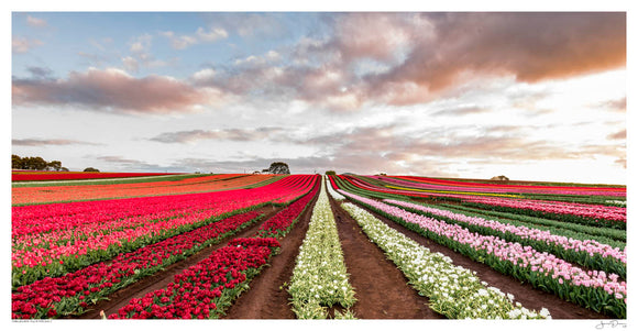 Tablecape Tulip Fields II