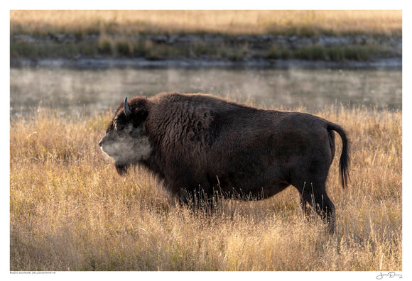 Bison Sunrise, Yellowstone NP