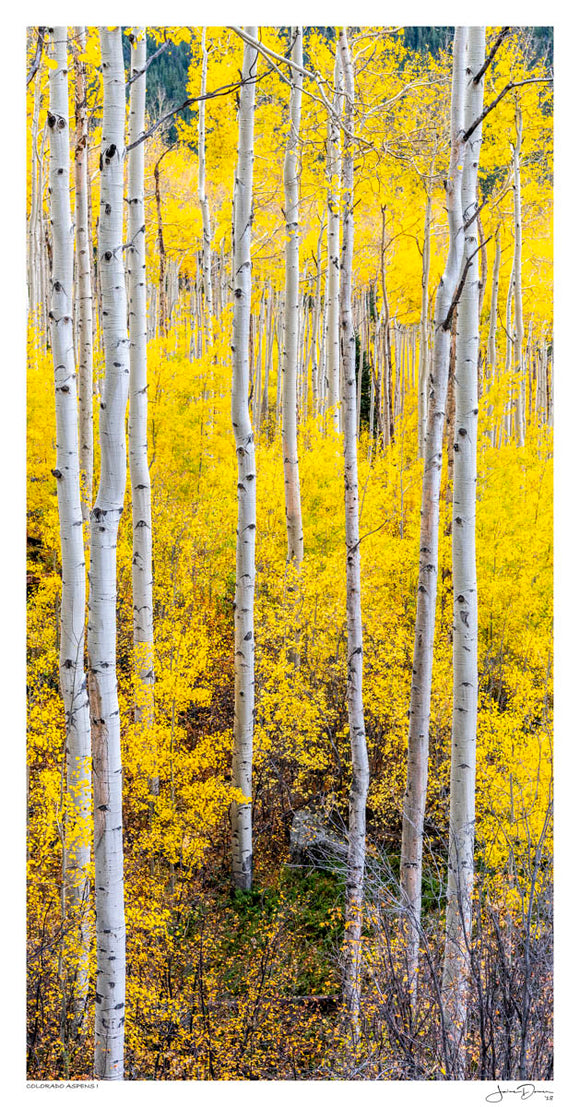 Colorado Aspens I