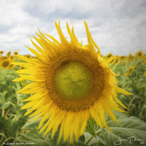 Allora Sunflower