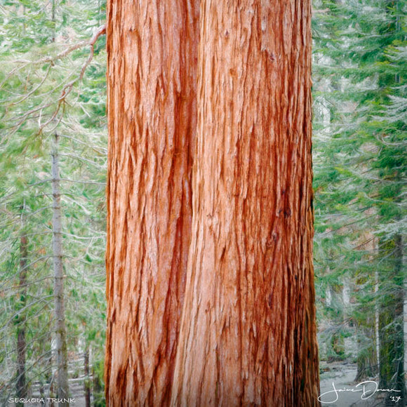 Sequoia Trunk