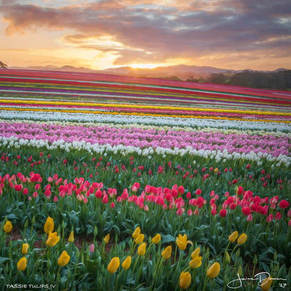 Tulip Rainbow at Sunset