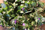 Ground Ivy, Glechoma hederacea Fresh Appalachian Mountains Wild Harvest