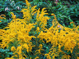 Goldenrod Tea - Wild Harvested Goldenrod Flowers