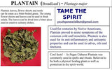 Broadleaf Plantain - Plantain herb