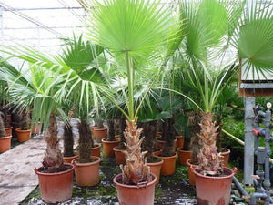 Washingtonia robusta; Totale hoogte 100-120cm incl pot Ø 22cm - Mexicaanse waaierpalm, MyPalmShop.nl
