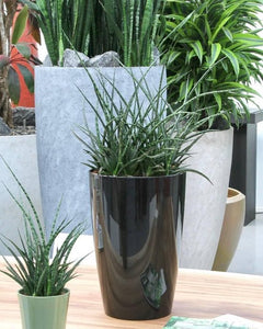 Combi deal - 3x Sansevieria Punk, Green Bubble
