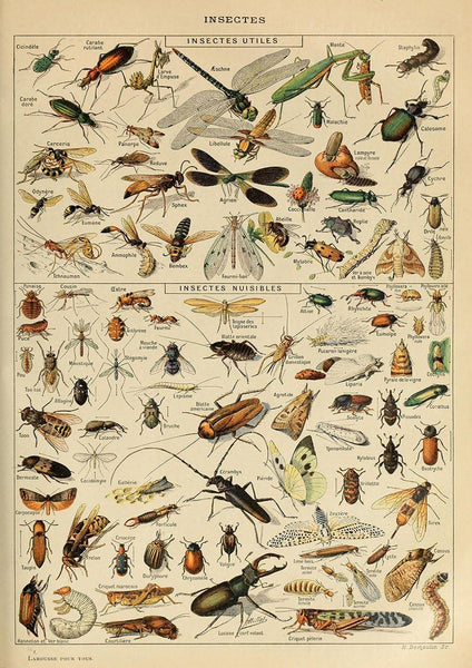 VINTAGE INSECTS POSTER: French Art Print by Millot