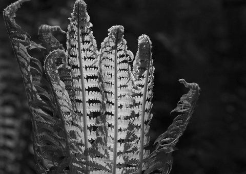 FERN PLANT PRINT: Black and White Leaves Art - The Print Arcade