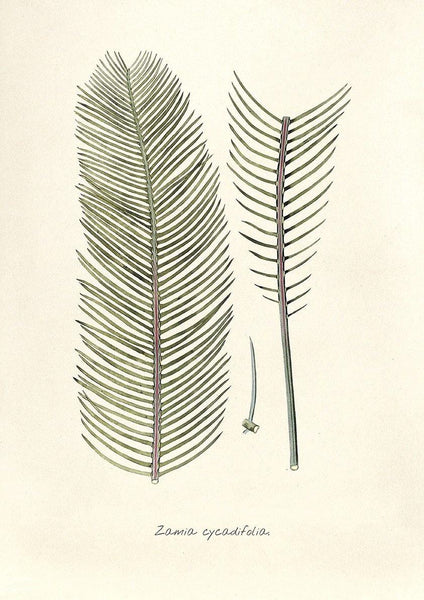 BOTANICAL LEAF PRINT: Vintage Zamia Cycadifolia Art Illustration - The Print Arcade