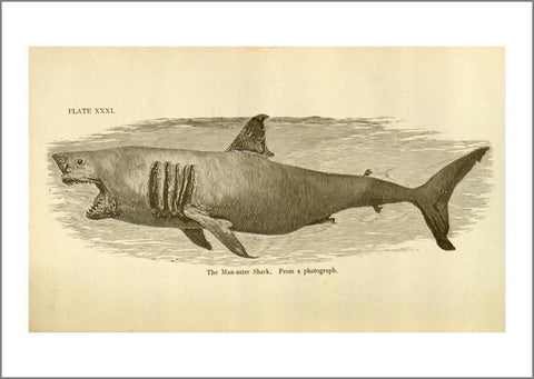 GREAT WHITE SHARK PRINT: Vintage Art Illustration - The Print Arcade