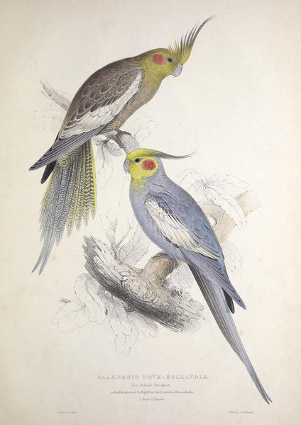 PARROT AND PARAKEET PRINTS: Vintage Bird Art Illustrations - The Print Arcade