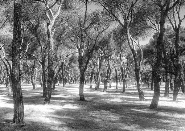 ORCHARD PHOTOGRAPH: Grove of Trees Photo Art Poster