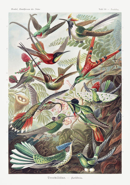 HUMMINGBIRDS POSTER: Vintage Birds Art Print by Haeckel