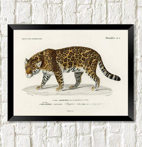 JAGUAR PRINT: Vintage Feline Art Illustration