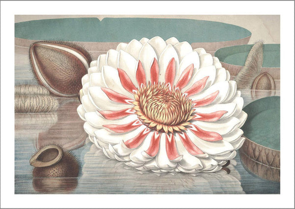WATER LILY ART PRINTS: Vintage Flower Illustrations - The Print Arcade