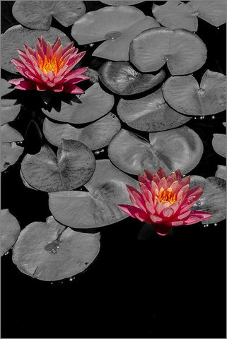 PINK LILIES: Pond and Flowers Photography Print
