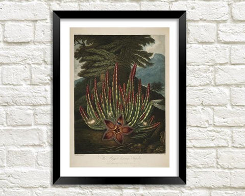 MAGGOT BEARING STAPELIA PRINT: Robert Thornton Plant Art
