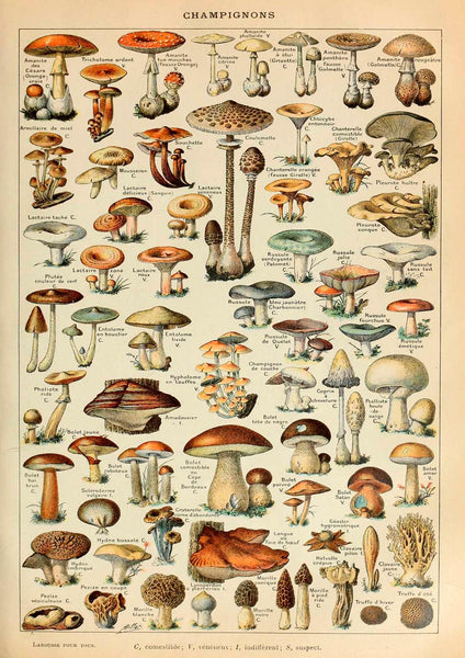 MUSHROOMS PRINT: Vintage Champignons Fungi Art Illustration