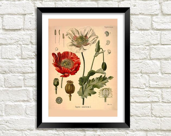 OPIUM ART PRINT: Vintage Botanical Plant Illustration - The Print Arcade
