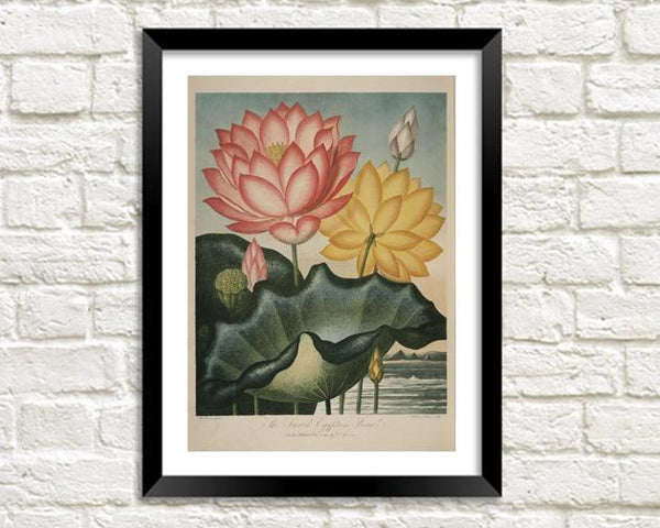 ORANGE & YELLOW FLOWER PRINT: Robert Thornton Botany Art - The Print Arcade