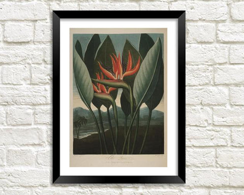 STRELITZIA QUEEN PLANT: Robert Thornton Flower Print