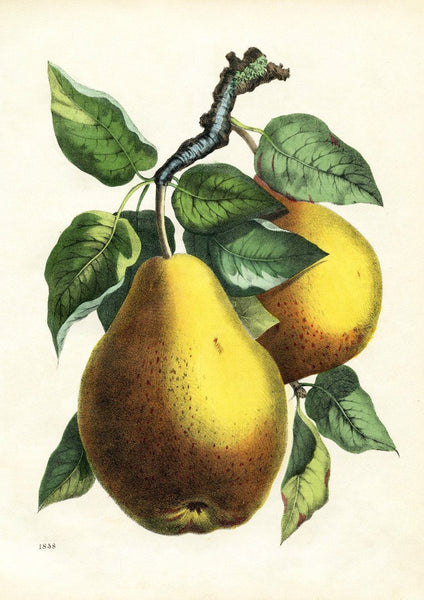 PEARS PRINT: Vintage Tree Fruit Art Illustration - The Print Arcade