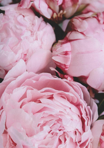 PINK PEONIES PRINT: Flower Photo Art