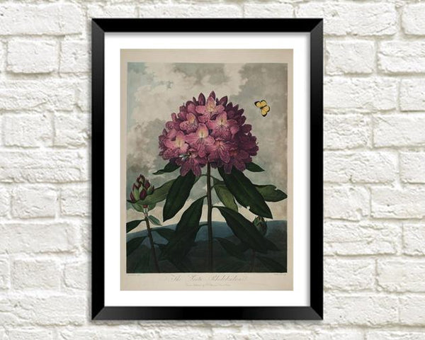 RHODODENDRON PRINT: Robert Thornton Purple Flower Art - The Print Arcade
