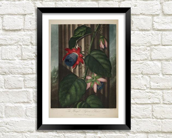WINGED PASSION FLOWER PRINT: Robert Thornton Art - The Print Arcade