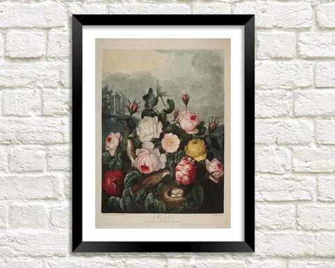 ROSES PRINT: Robert Thornton Flower Art - The Print Arcade