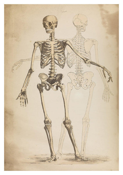 SKELETON PRINT: Vintage Anatomy Art Illustration - The Print Arcade