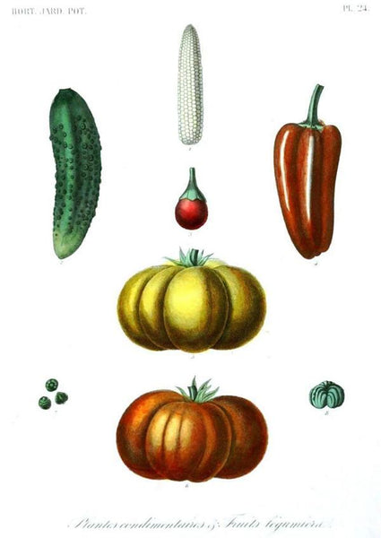 PUMPKIN SQUASH PRINT: Vintage Vegetable Art - The Print Arcade
