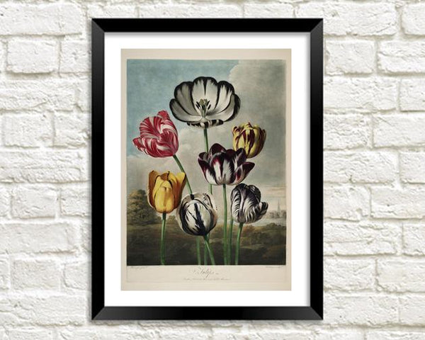 TULIPS PRINT: Robert Thornton Flower Art - The Print Arcade