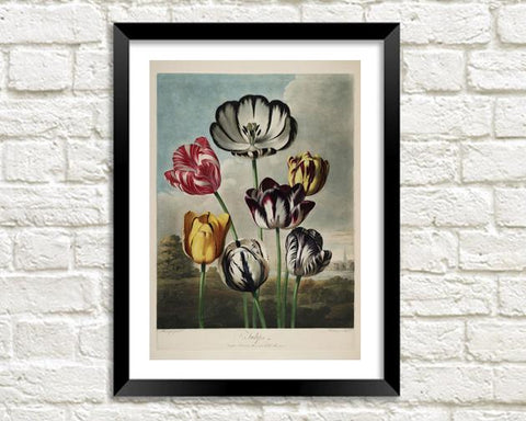 TULIPS PRINT: Robert Thornton Flower Art