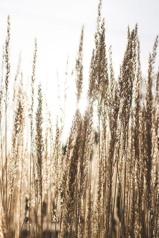 WHEAT IN SUN PRINT: Photography Art Poster