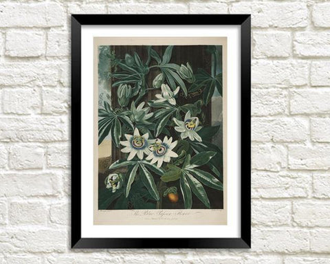 BLUE PASSION FLOWER PRINT: Robert Thornton Art - The Print Arcade