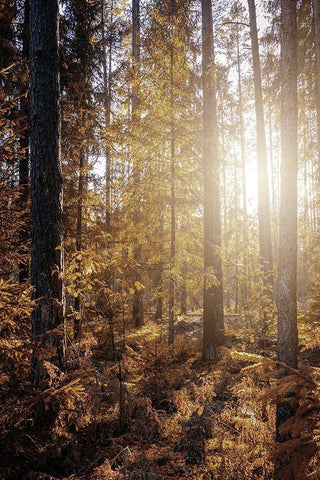 YELLOW FOREST PRINT: Trees in Sunlight Photo Art