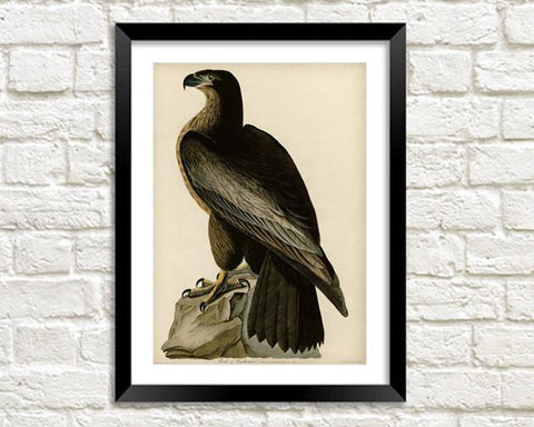BLACK EAGLE PRINT: Vintage Audubon Bird of Washington Art - The Print Arcade