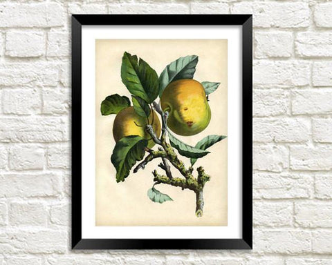 APPLES ART PRINT: Vintage Bramley Illustration - The Print Arcade