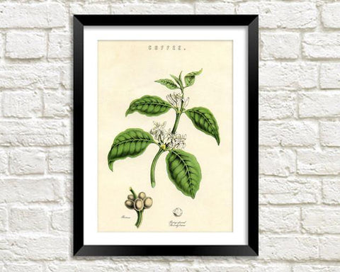 COFFEE PLANT PRINT: Vintage Caffeine Art Illustration Wall Hanging - The Print Arcade