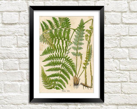FERN PLANT PRINT: Vintage Botany Art Illustration - The Print Arcade