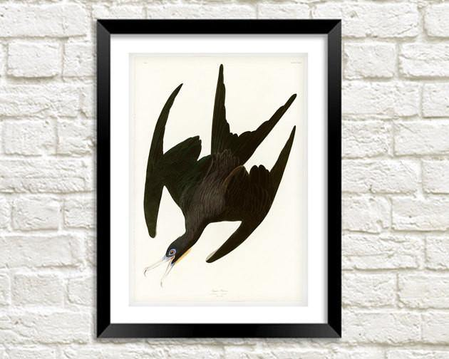 FRIGATE PELICAN PRINT: Vintage Black Audubon Bird Art Illustration - The Print Arcade