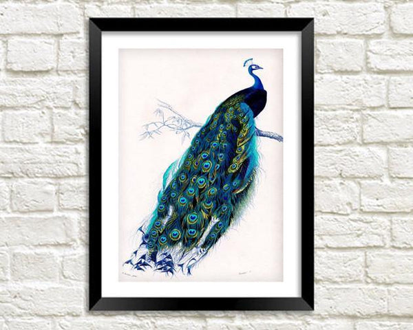 BLUE PEACOCK PRINT: Vintage Bird Art Illustration - The Print Arcade