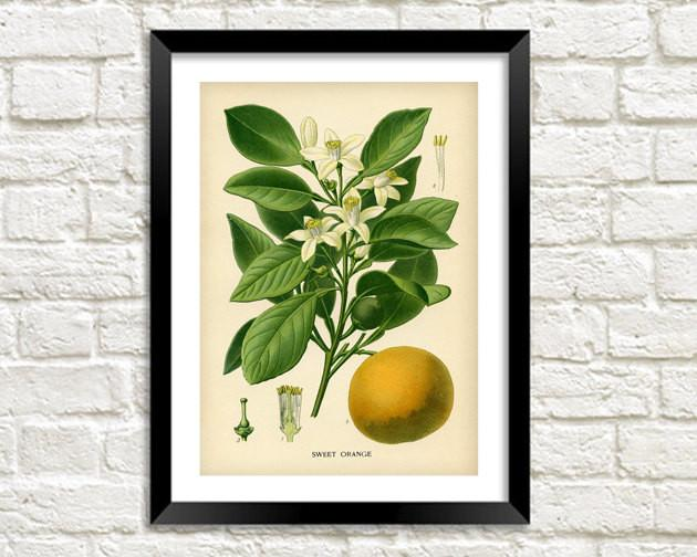 ORANGE TREE PRINT: Vintage Citrus Fruit Art - The Print Arcade