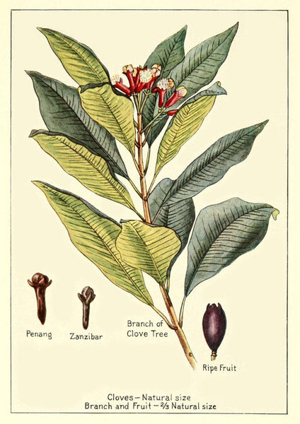 CLOVES PRINT: Vintage Spice Plant Art Illustration - The Print Arcade