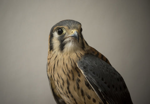 We will do a classroom Adoption for Holmes, a Male American Kestrel