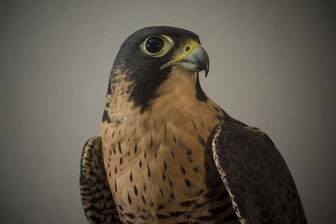 I will Adopt Millie, a female Peregrine falcon